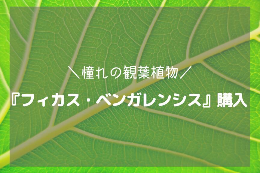 憧れの観葉植物『フィカスベンガレンシス』を購入!-アイキャッチ
